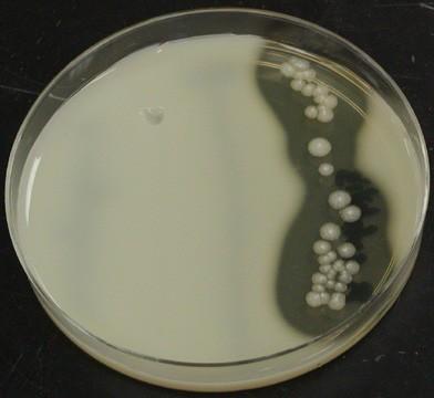 milk-agar