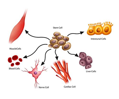 کاربرد سلول بنیادی