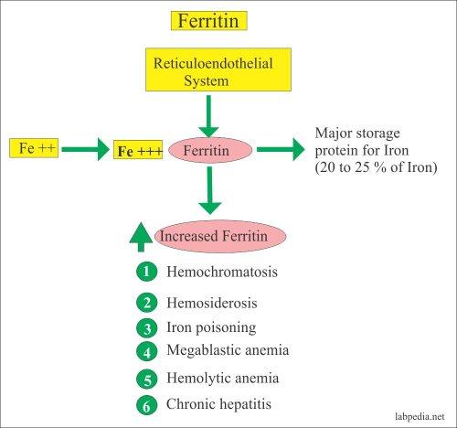 ساختار فریتین