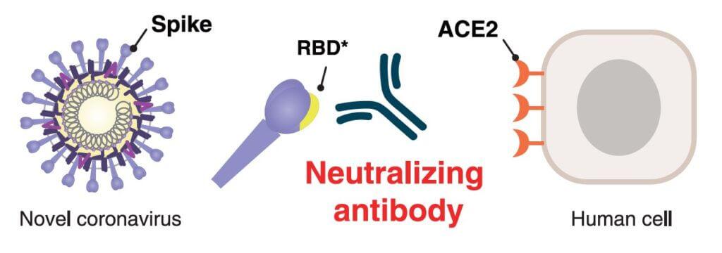 آنتی ژن RBD ویروس کرونا